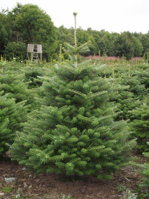 Korean Fir Christmas trees are now available from The Christmas Tree Farm! - Korean Fir Christmas Trees Are Now Available From The Christmas Tree