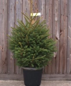 Christmas Trees (Pot Grown) including nationwide delivery