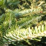 Fraser fir