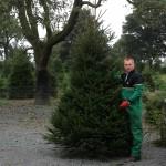 Norway spruce christmas tree