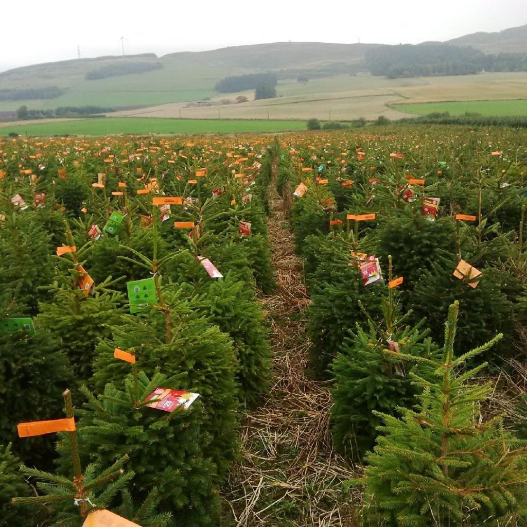 Tayside christmas trees