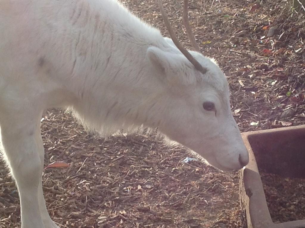 Baby white reindeer image