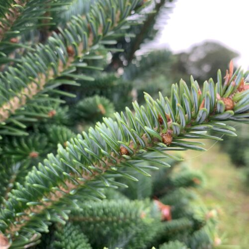 Fraser Fir Christmas Tree Foliage