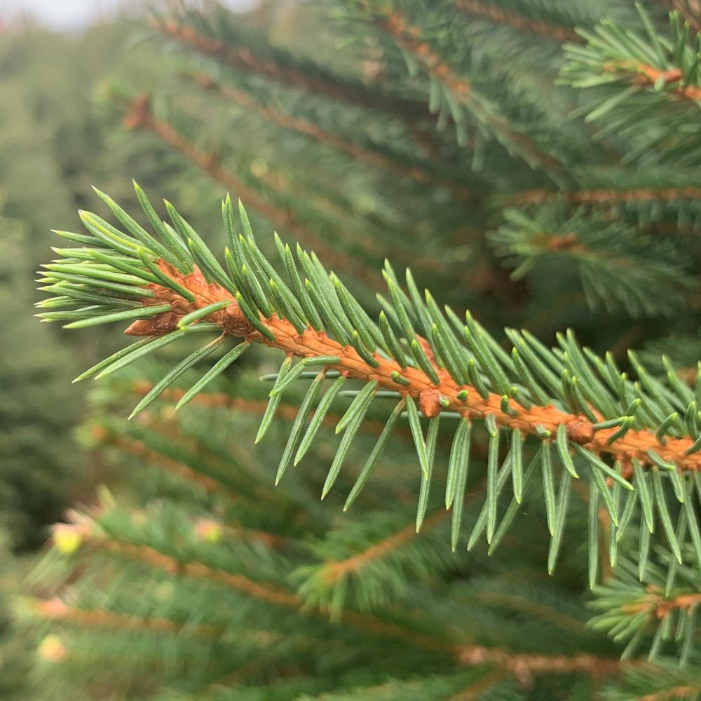 Norway Spruce Christmas Tree Foliage